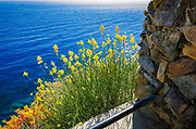 Wildflowers on the Via dell'Amore (The Way of Love), Riomaggiore, Cinque Terre, Liguria, Italy