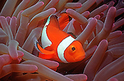 UNDERWATER MARINE LIFE WEST PACIFIC: Southwest FISH: Anemonefish Amphiprion percula