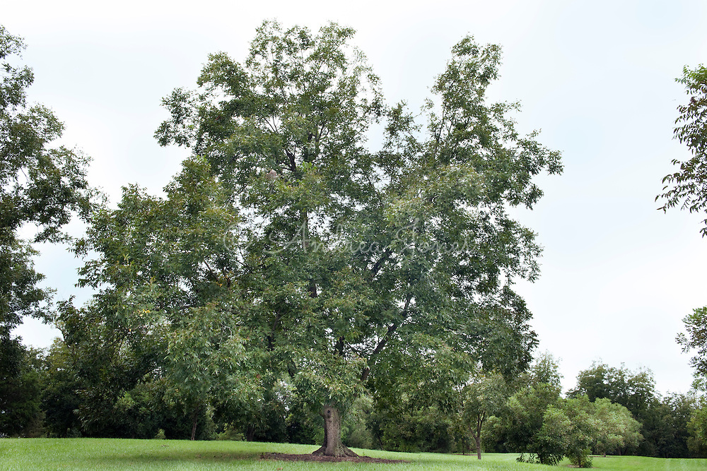 Carya illioensis (pecan). Historic Oak View County Park, Raleigh, North Carolina, USA.