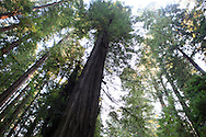 The Redwood trees in the Humboldt Redwoods State Park on the Avenue of the Redwoods.  Photograph by Dennis Brack...