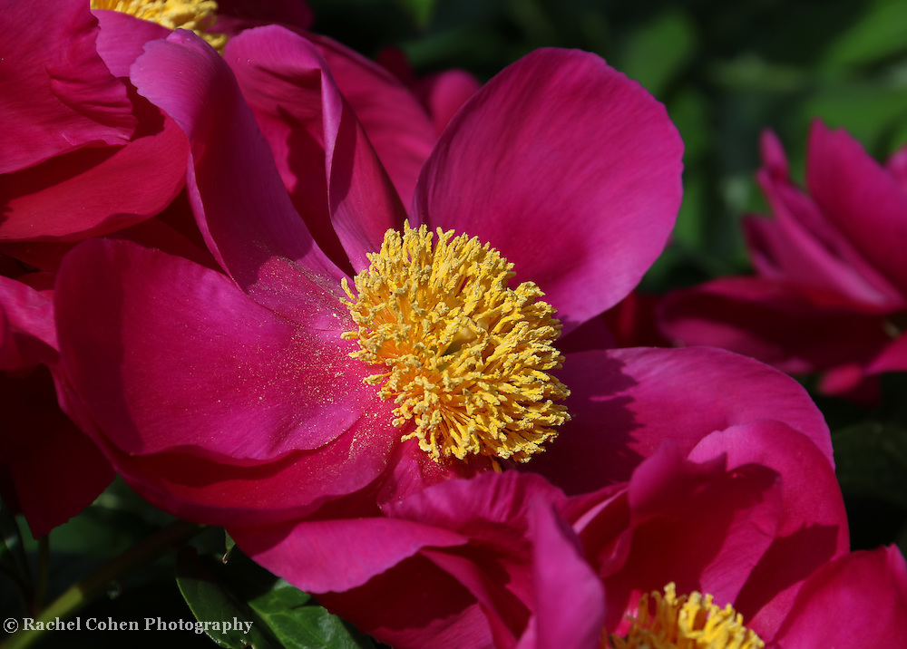 &quot;Dusted in Peony Pollen&quot;<br /> <br /> Gorgeous large dark pink peonies with a big golden center!