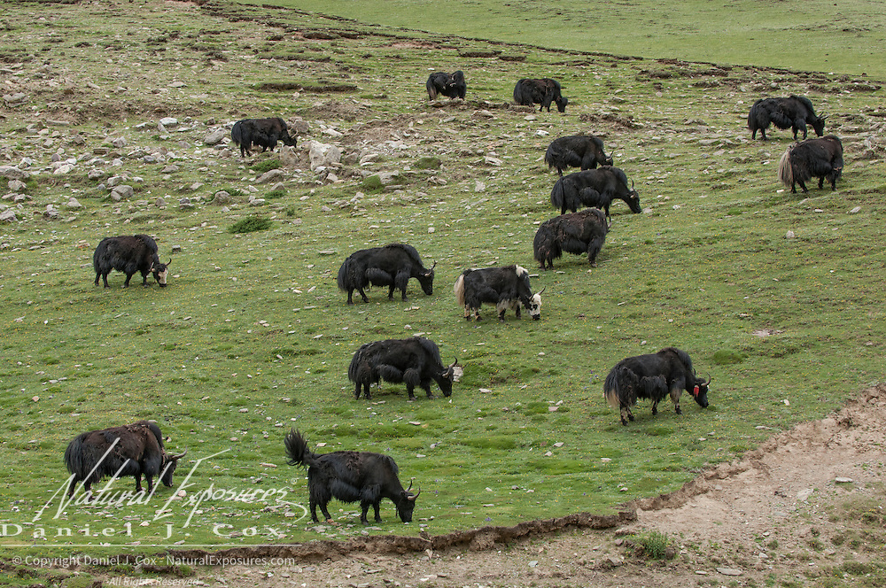 Yaks roaming the countryside of Tibet. Asia