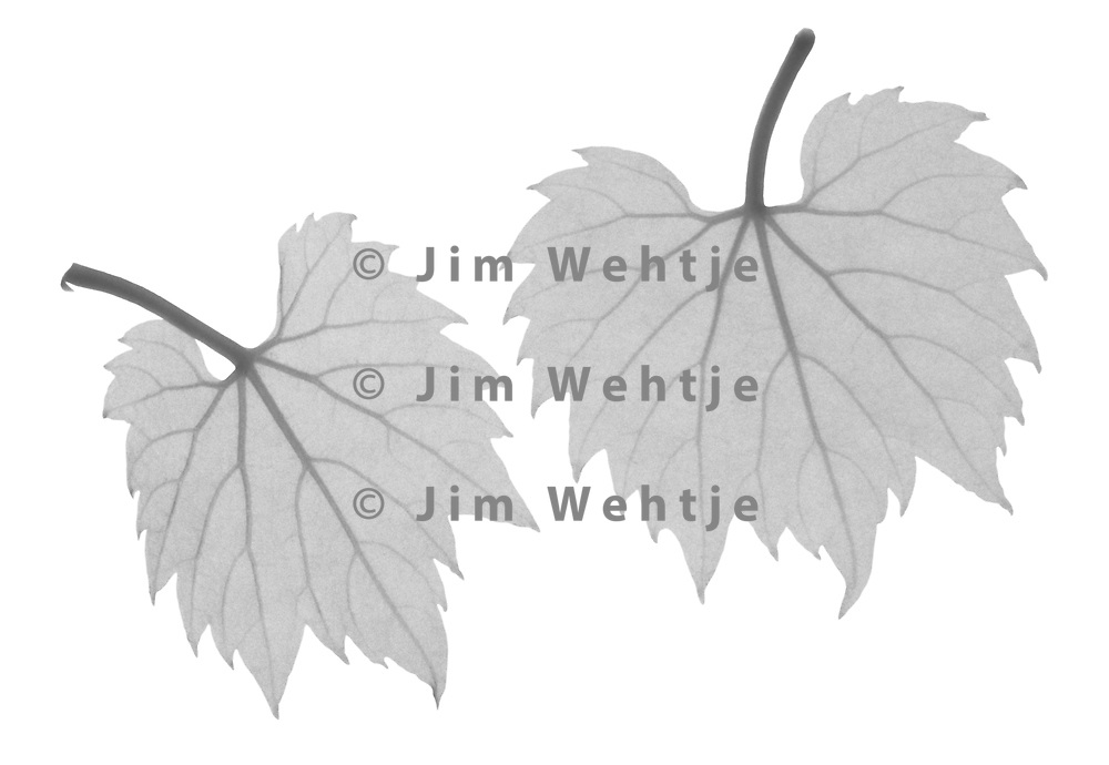 X-ray image of baby wild grape vine leaves (Vitis sylvestris, black on white) by Jim Wehtje, specialist in x-ray art and design images.