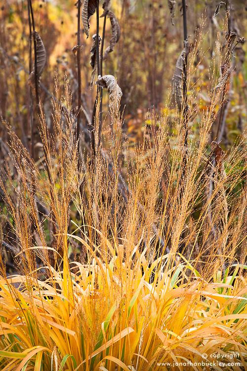 Molinia caerulea subsp. arundinacea in autumn colour