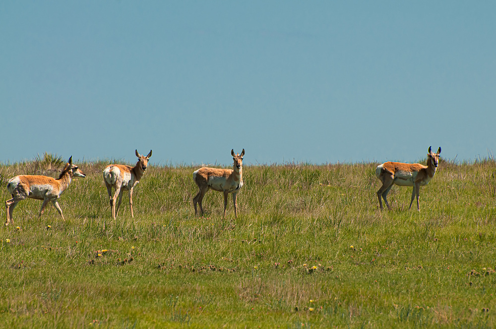 A band of pronghorn does look nervously toward a photographer on a mountain bike far out in the Pawnee National Grasslands on the plains of northeastern Colorado. Known to be the second fastest animal in the world (the cheetah is first), the pronghorn is the only surviving modern member of the mammal family (Antilocapridae) in North America. Evolved to outrun the now extinct American cheetah, the pronghorn has still retained its speed.