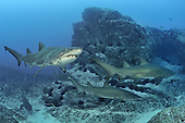 Australia's Grey Nurse Shark