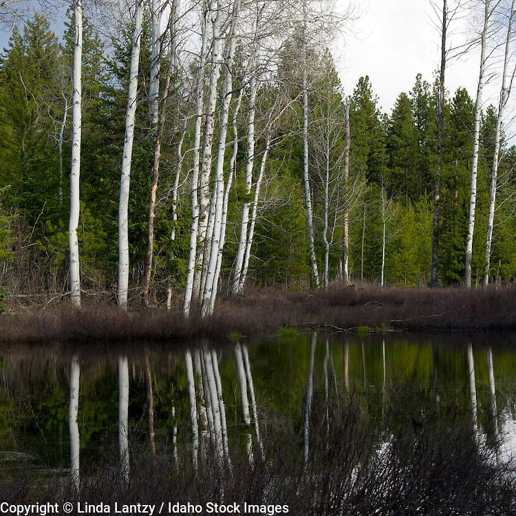 Montana, Libby, Cabinet Mountains. A pond on the side of Bear Creek Road reflects the white tree trunks in calm water.