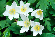 WOOD ANEMONE Anemone nemorosa (Ranunculaceae) Height to 30cm. Perennial that sometimes forms large carpets on suitable woodland floors. FLOWERS are solitary and comprise 5-10 white or pinkish petal-like sepals (Mar-May). FRUITS are beaked and borne in rounded clusters. LEAVES on stems are long-stalked and divided into 3 lobes, each being further divided. STATUS-Widespread and locally common.