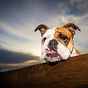 Florence the English bulldog
