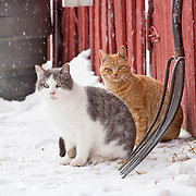 Winter chickens, sheep and cats 2009