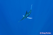 """free swimming striped marlin, Kajikia audax, is """"lit up"""" - showing an excited color pattern with vivid blue-violet stripes and reflective white pectoral fins and caudal (tail) fin, Vava'u, Kingdom of Tonga, South Pacific"""