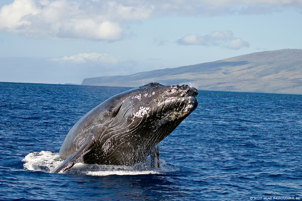 Pacific Humpback Whale off the coast of Maui Hawaii in the Central Pacific Ocean, Head Lunge