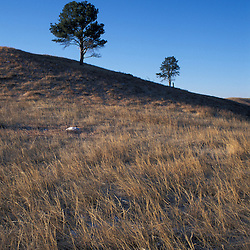 Ponderosa pine on the mixed-grass prairie of Wind Cave National Park in South Dakota.