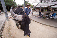 A domestic water buffalo powers a sugar cane crushing machine in the centre of a large ring at the Ryukyu Village - a theme park dedicated to ancient Okinawan culture.