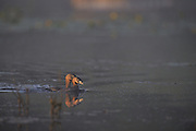 Pied-billed grebes at dawn in Lake Laurentian Conservation Area in Northern Ontario, Canada.