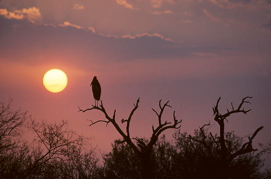 Marabou Stork, (Leptoptilos crumeniferus) Perched in acacia tree top, silhouetted against setting sun. Kruger National Park. South Africa.