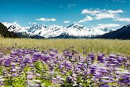 Long exposure of Nootka Lupines (Lupinus nootkatenis) along Turnagain Arm in Southcentral Alaska. Spring. Afternoon.