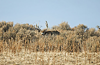 A Mule Deer buck walks in the sagebrush in the northern Utah desert.