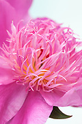 Paeonia lactiflora 'Flamingo' - peony