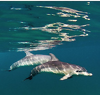Viewing and snorkeling with spotted dolphins along the Bimini Banks in the Bahamas. These dolphins gain more spots with age.