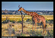Samburu Giraffe Scratching Its Neck<br /> Samburu National Reserve, Kenya<br /> September 2012