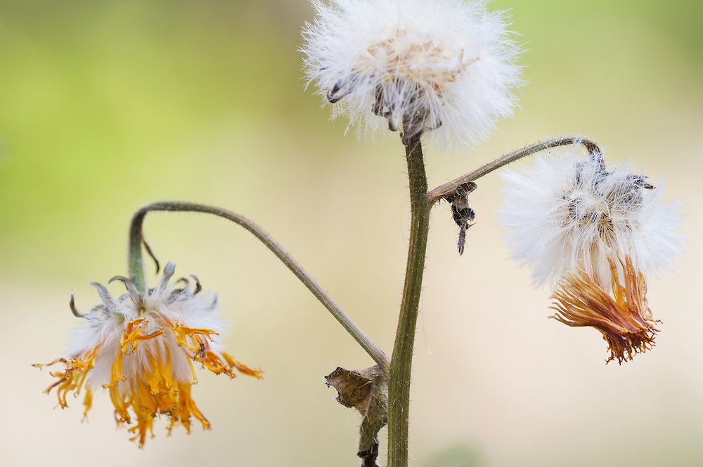 Stinking hawk's-beard (Crepis foetida), old blossoms and seeds. Pont-du-Chateau, Auvergne, France.