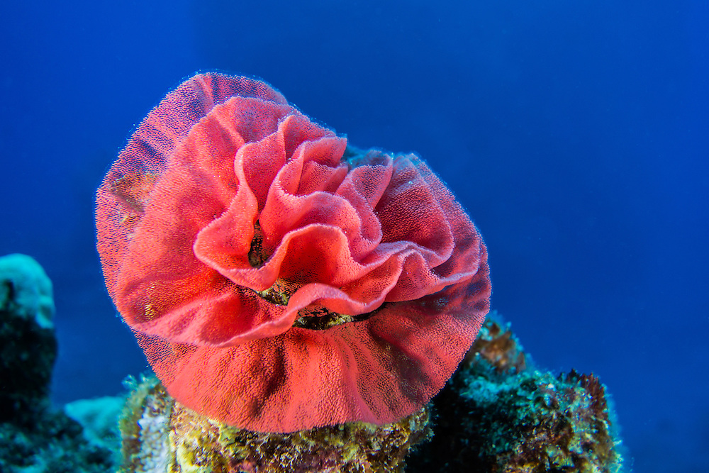 Spanish Dancer nudibranch eggs, seen while Scuba diving off Kona, Big Island, Hawaii. © William Drumm, 2013.