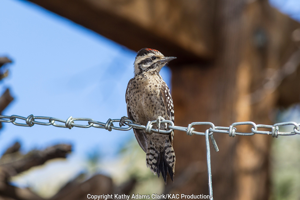 Ladder-backed woodpecker, Picoides scalaris, Ft. Davis, Texas, west Texas