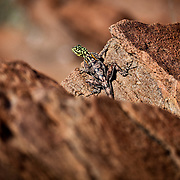 Photo taken at Twyfelfontein, Namibia. Do not know the lizard type.....