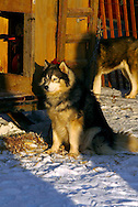 3/3/2007:  Anchorage Alaska -  One of the many sled dogs warms itself in the morning sun prior to the 35th Iditarod Sled Dog Race