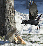 A squirrel and a crow battle over a piece of Italian bread on the ground in Middletown on Tuesday, Jan. 5, 2010.