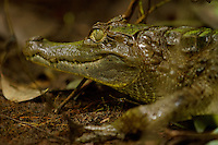 White caiman along a creek south of Napo Wildlife Center in Yasuni National Park, Orellana Province, Ecuador