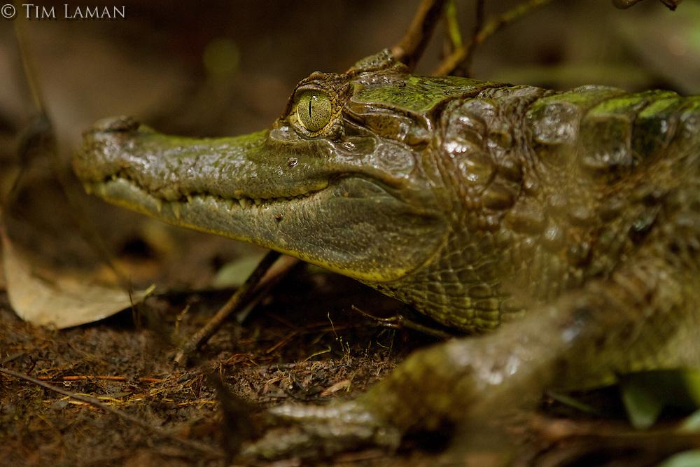 White caiman along a creek south of Napo Wildlife Center in Yasuni National Park, Orellana Province, Ecuador