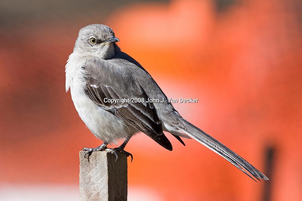Northern Mockingbird, Mimus polyglottos, sitting on a fence post