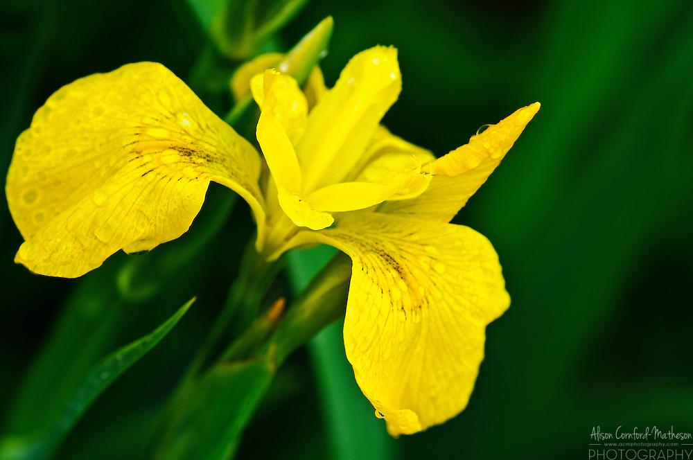 A Siberian Iris flowers in a garden in Ireland.