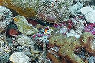 Pyjama slug-Doris pyjama (Chromodoris quadricolor), Bali island, Indonesia.