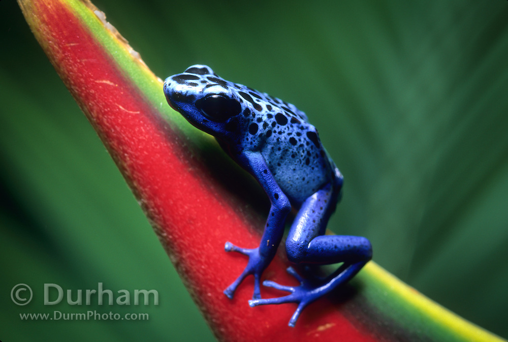 a blue poison dart frog (dendrobates azureus) on a heliconia flower. Native to Surinam in South America.
