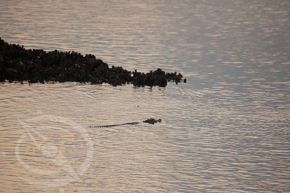 The golden morning light accentuates the silhouette of an alligator cruising the shoreline for breakfast. North Charleston, SC