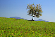 A lonely  tree in the grass fields on the hills nearby Ripa d'Orcia in Tuscany, Italy. The top of Mount Amiata is in the background.