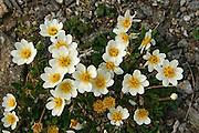 Reinrose (Dryas octopetala), blomstrer i store mengder i juni på fjellet Bringen i Selbu. Vokser på kalrik grunn i fjellet. Engl: mountain avens, white dryas, and white dryad. An arctic-alpine flowering plant in the family Rosaceae. It is a small  evergreen subshrub.