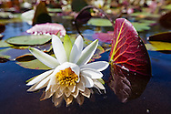 American White Water Lilies in Bayou Lacombe in the Big Branch National Wildlife Refuge that leads out into  Lake Pontchartrain. Southeastern Louisiana's wetlands are threaten by coastal erosion, climate change and the oil and gas industry.