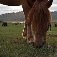 Mongolia. landscape, yurts, horses,  near the water falls  in the Orkhon river  valley    Ovokhangai -   /  paysage, campement de yourtes, chevaux , pres  des  chutes díeau  de la vallÈe de la riviere Orkhon   - Mongolie