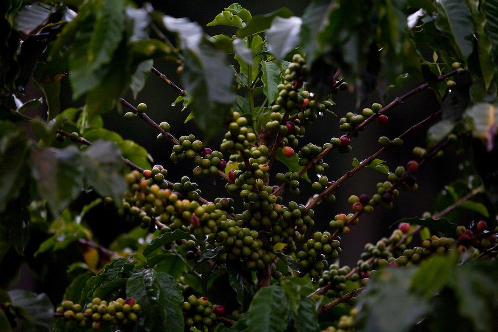 Iuna_ES, Brasil...Pe de cafe ao lado de trecho da Rota Imperial...A coffee tree next to Imperial Route...Foto: LEO DRUMOND / NITRO