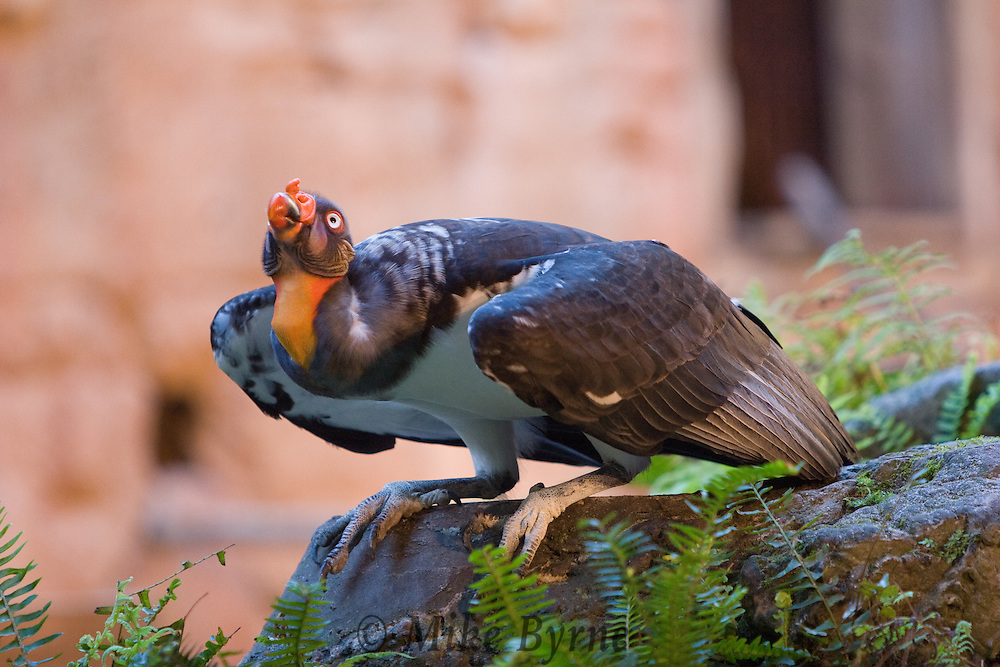A king vulture (Sarcoramphus papa) perched on a rock.