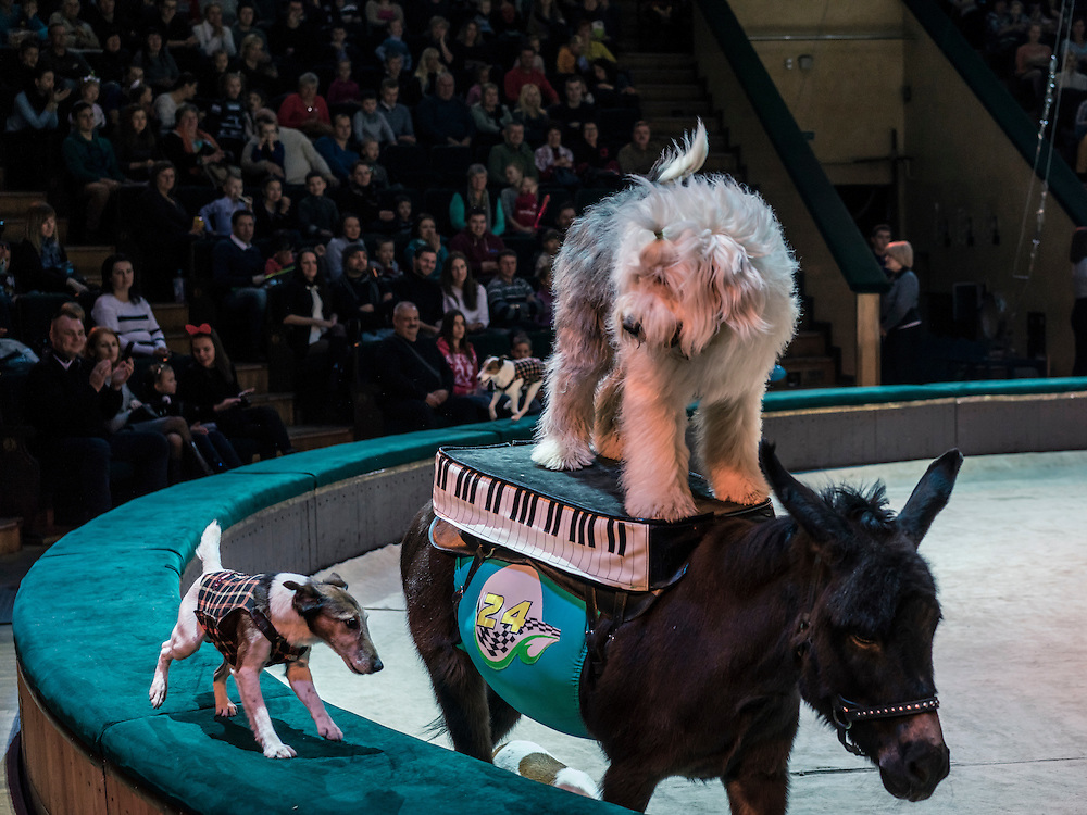 "Trained dogs and a donkey perform at the Belarus State Circus during a show called ""Africa!?!"" on Wednesday, November 25, 2015 in Minsk, Belarus."