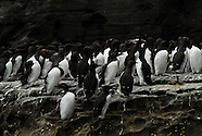 Guillemots of Noss, Shetland Islands