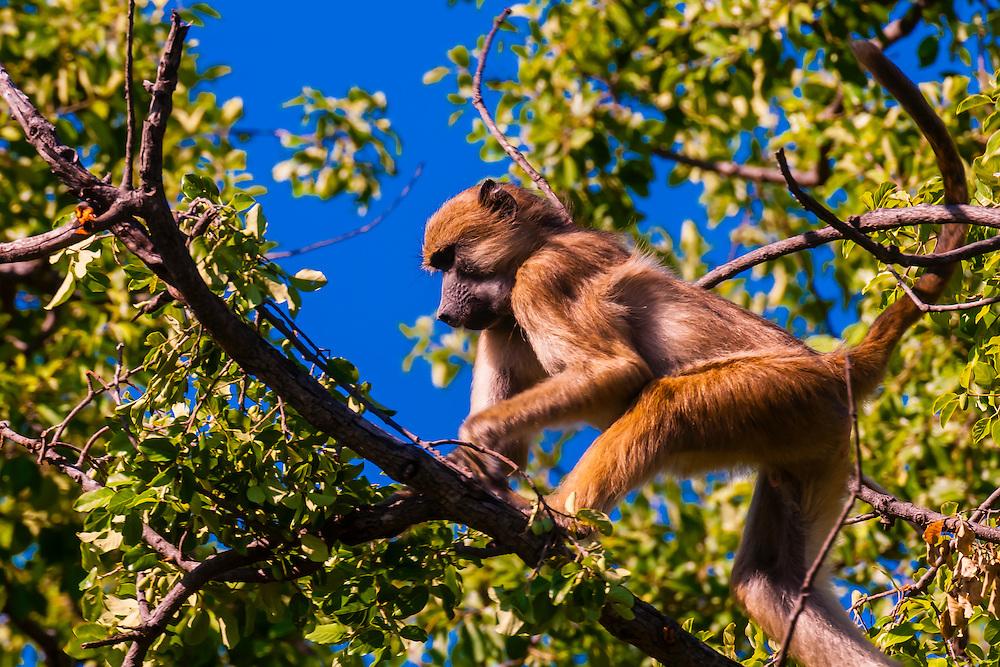 Baboon in a tree, near Kwara Camp, Okavango Delta, Botswana.