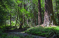 Muir Woods is world famous for its redwoods, Sequoia sempervirens. it is  located in the midst of a metropolitan region just eight miles north of San Francisco. 201304302162<br />