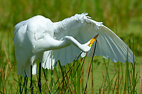 Great Egret (Ardea alba), Green Cay Nature Area, Delray Beach, Florida, USA   Photo: Peter Llewellyn