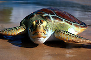 UNDERWATER MARINE LIFE WEST PACIFIC mammals: Green Turtle Chelonia mydas